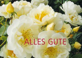 Geburtstagskarte weiße Rosen