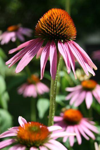 Echinacea Hochformat