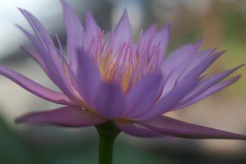 Seerose violett