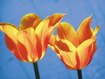Tulpen Licht