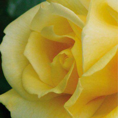Dankeschön-Gutschein Rose Rückseite